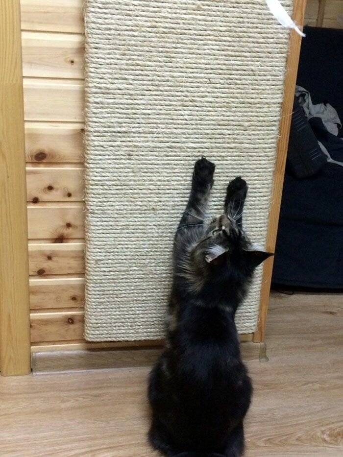 Как отучить кота драть обои и мебель: советы по спасению стен