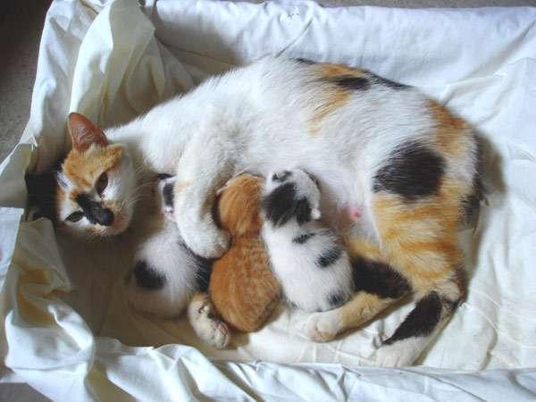 Правила ухода за кошкой и новорожденными котятами