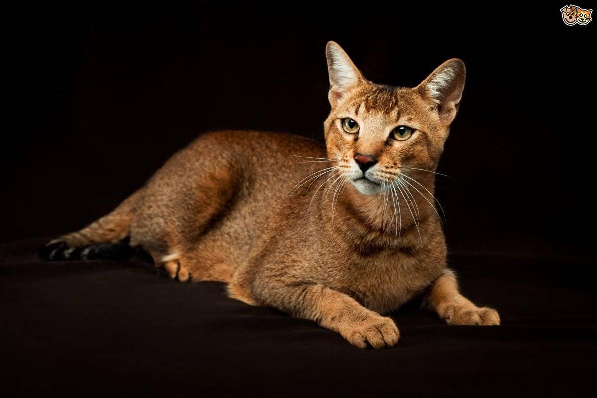 Топ 5 самых опасных пород кошек, которых не стоит держать квартире — 4 лапки