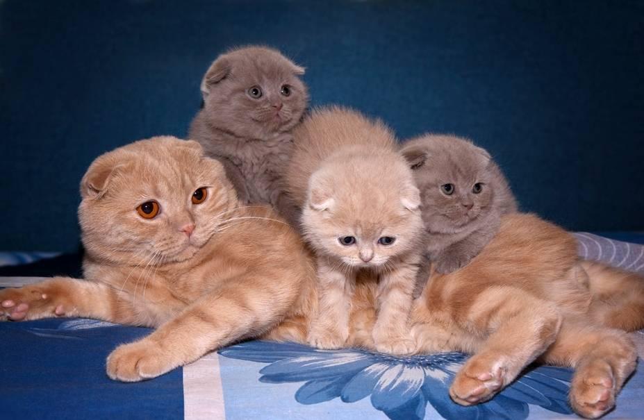 Чем кормить шотландского вислоухого кота в домашних условиях