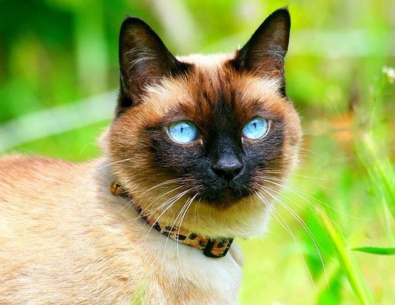 Породы кошек с голубыми глазами: топ10 с фото и названиями