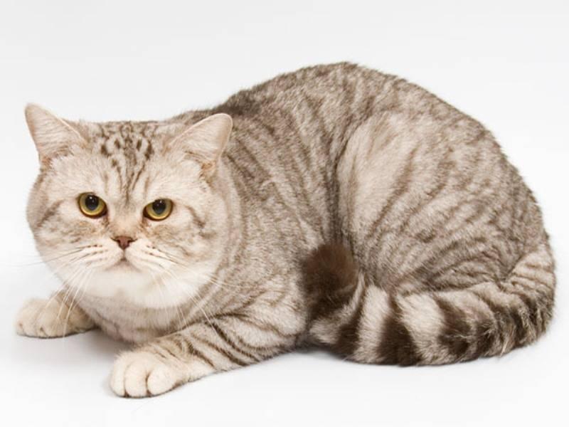 Сколько живет британская кошка – продолжительность жизни кошки