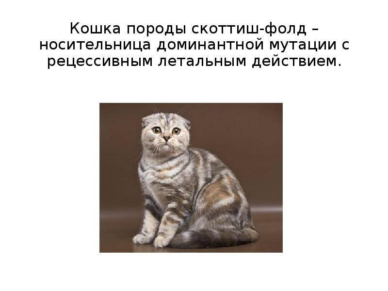 Чем кормить шотландского котенка: корм для кота и кошки, советы