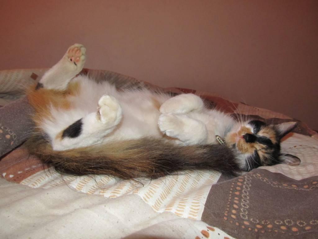 У кошки раздулись бока: почему, причины и лечение