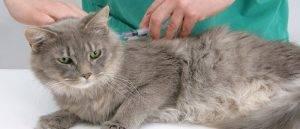 Чумка у кошек: симптомы, лечение, прививки