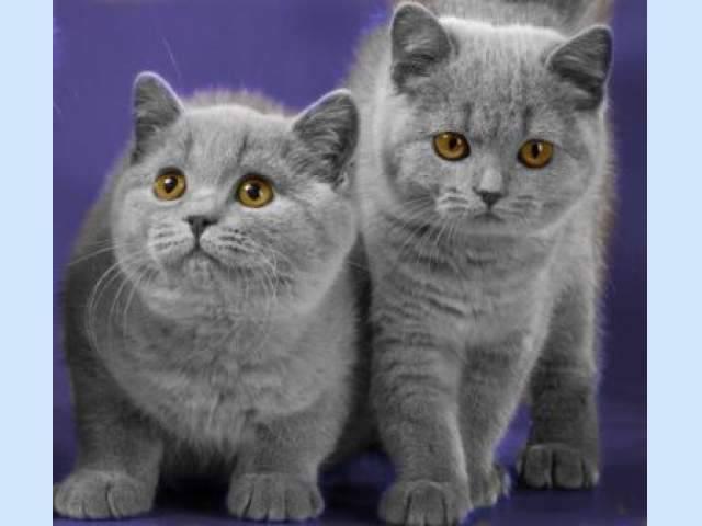 Виды шотландских кошек: фолд и страйт — в чем разница?