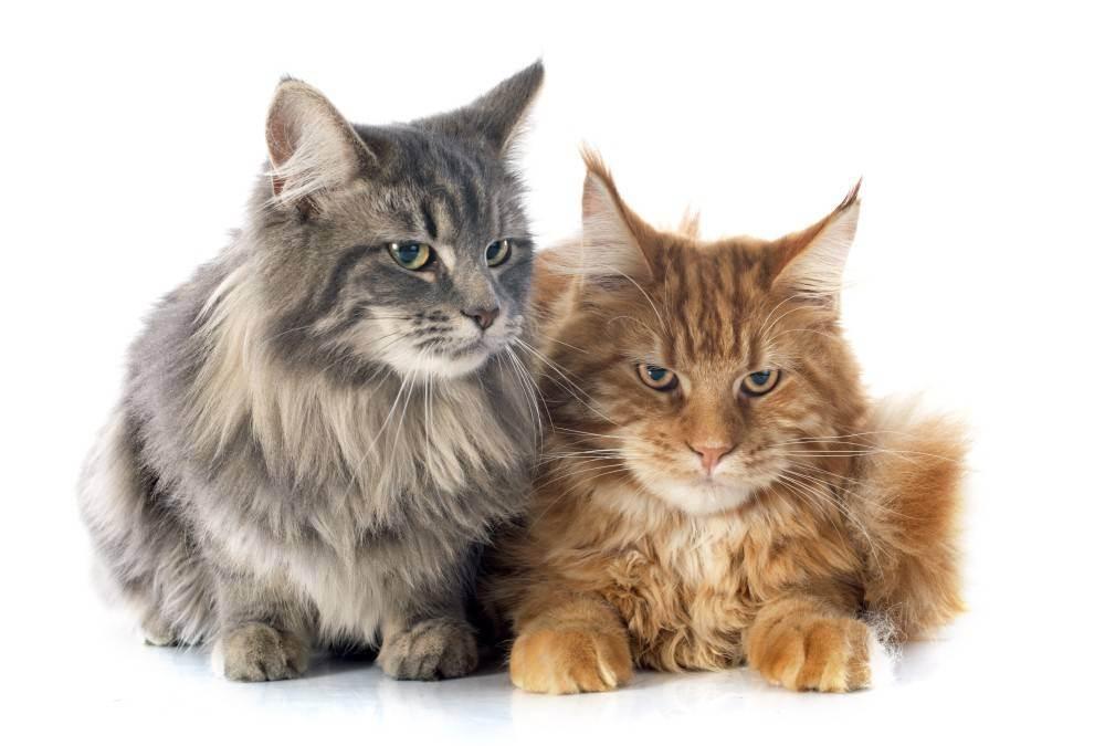 Как отучить кота метить территорию в квартире