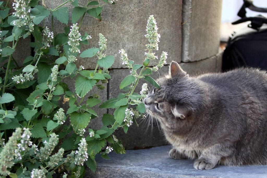 Кошачья мята: фото, для чего нужна и как действует, применение для кошек