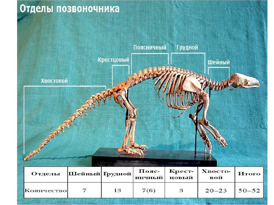 Анатомия кошки и строение ее тела: описание скелета, внутренних органов и систем, занимательные замечания об организме кошки