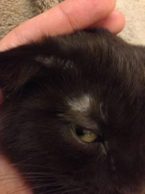 У кошки лысеют уши: причины облысения и варианты лечения