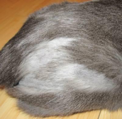 Почему у кошек выпадает шерсть клоками: причины появления болячек на коже и возможные заболевания котов