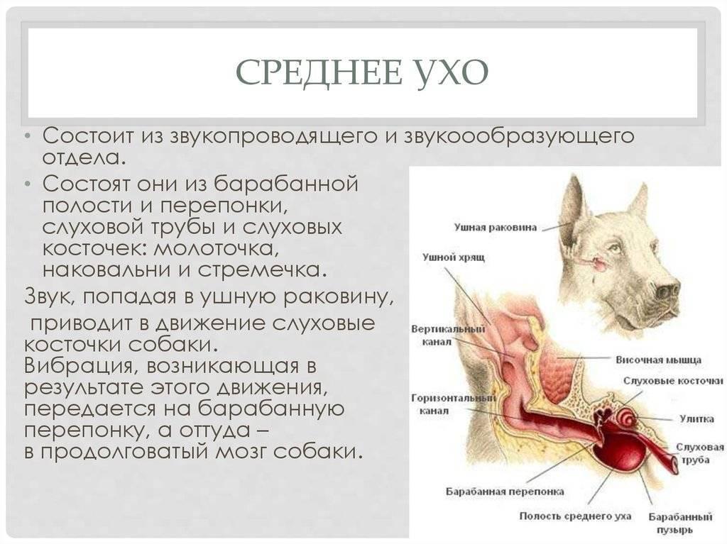 ᐉ как чистить уши кошке? - ➡ motildazoo.ru