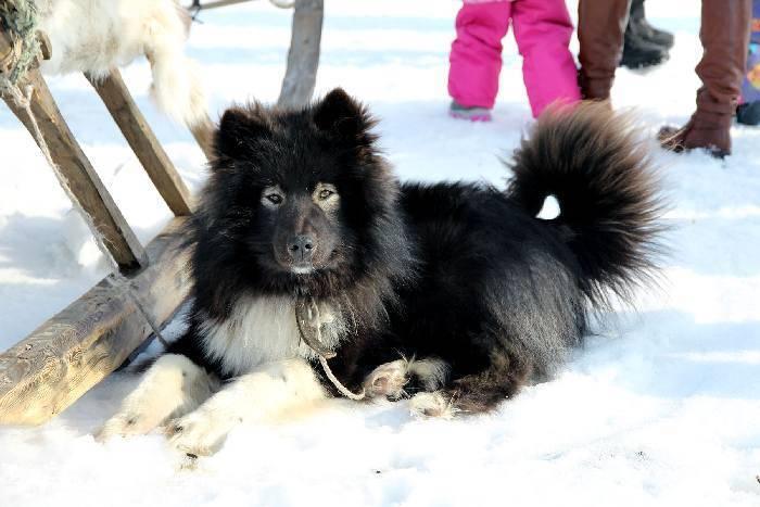 Американский эскимосский шпиц: описание, уход, характер, фото | все о собаках