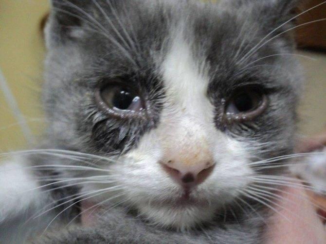 Почему у шотландского кота слезятся глаза. слезятся глаза у котенка шотландского вислоухого