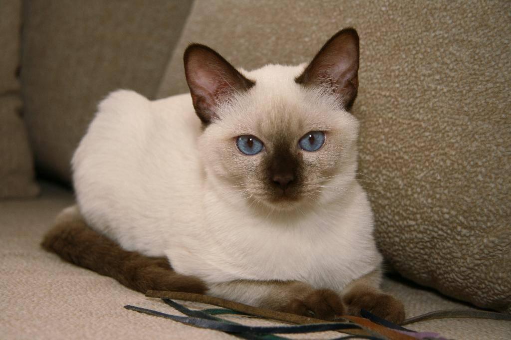 Окрасы тайских кошек и котов - фото с описанием: табби, сил-поинт, голубой (блю-поинт) и др.