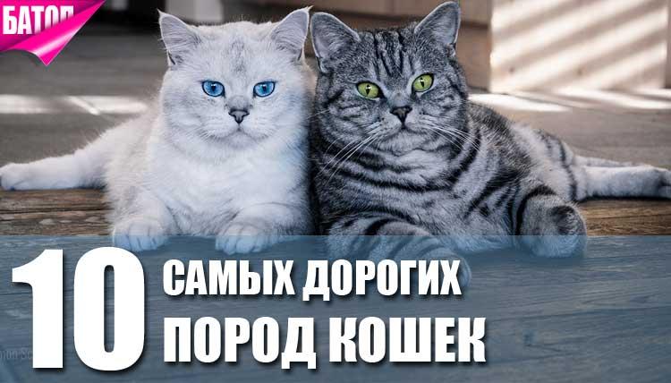 Самые популярные породы кошек: топ-20