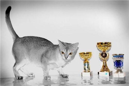 Содержание сингапурской кошки (фото) особенности содержания сингапурской кошки? что приобрести для содержания сингапурской кошки?