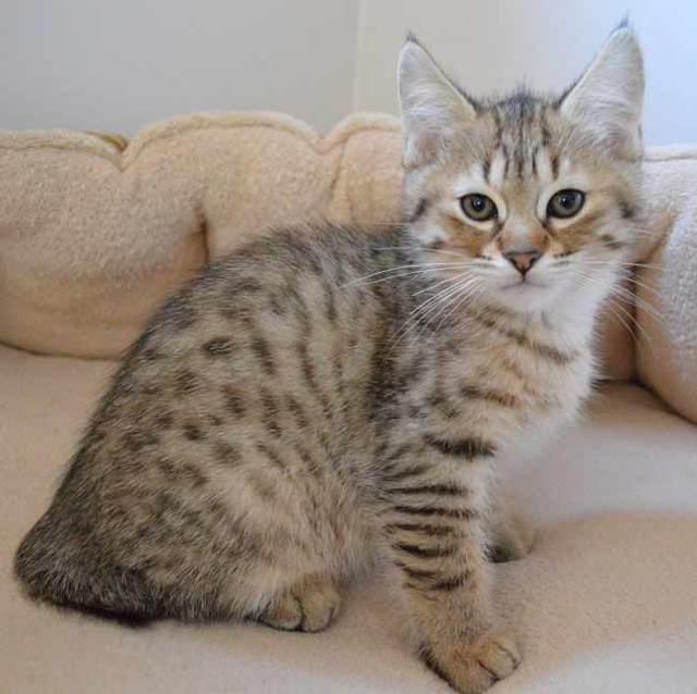 Полосатый кот: название породы и описание