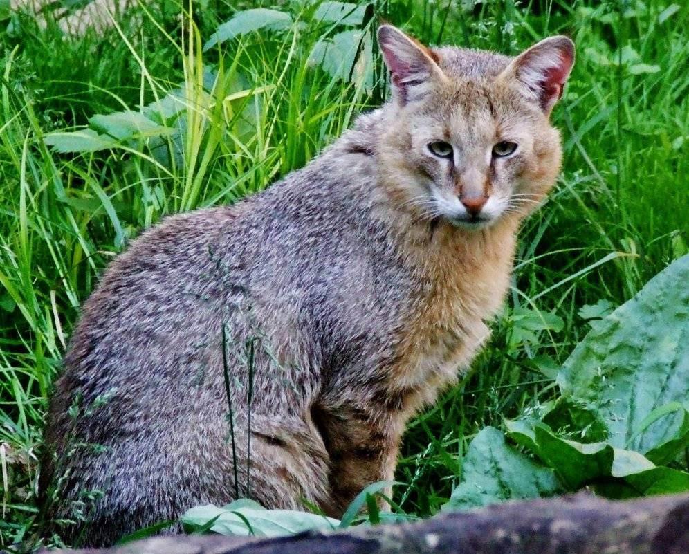 Порода домашняя рысь и другие похожие кошки: расписываем по порядку