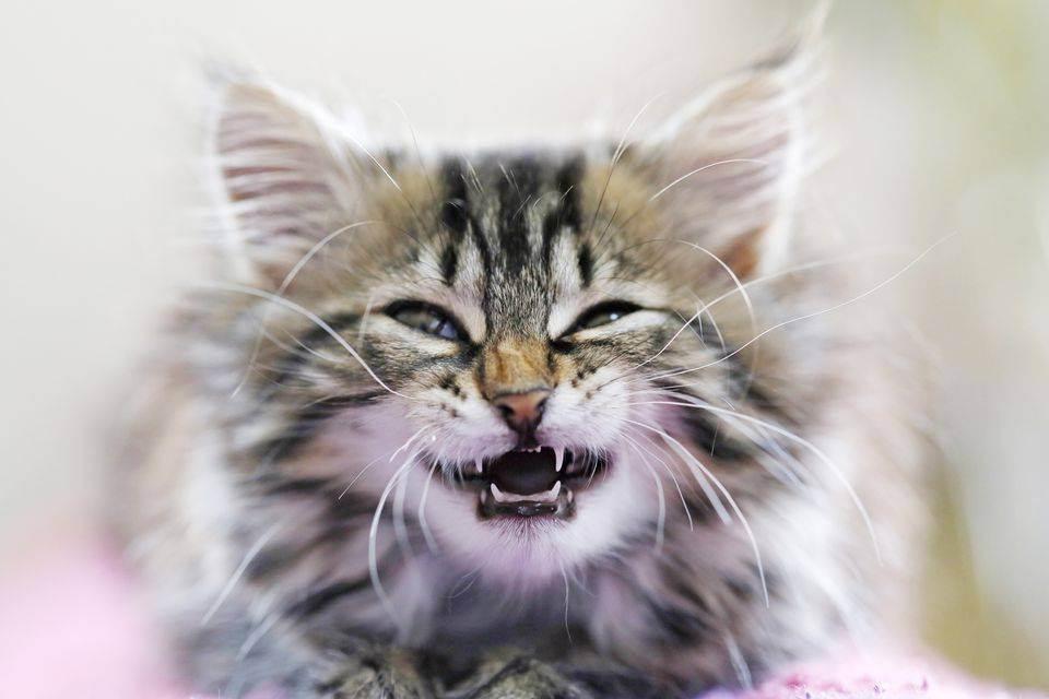 Выпадают ли молочные зубы у кошек: когда они меняются, есть ли молочные зубы у котов
