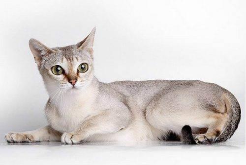 Содержание сингапурской кошки