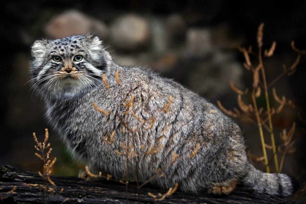 Лесной кот - интересные факты