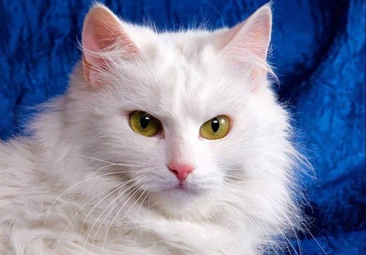 4 породы белых кошек с разноцветными глазами