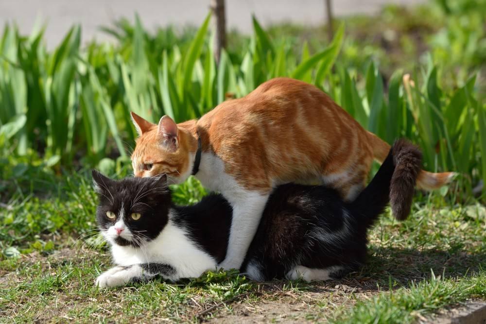 Когда кошка начинает просить кота первый раз, сколько дней это длится и как часто бывает?
