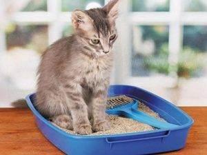 Цистит у кошки: причины, симптомы, лечение и профилактика