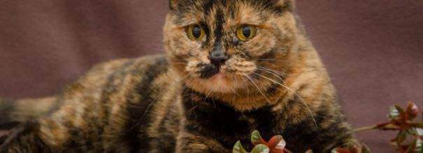 Британские длинношерстные кошки: характер и содержание