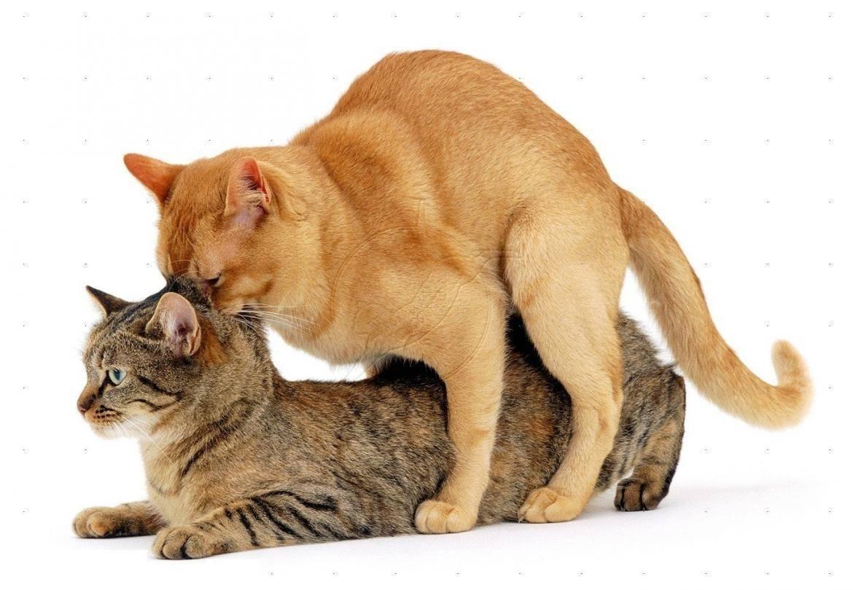 Кошка просит кота как успокоить народными средствами