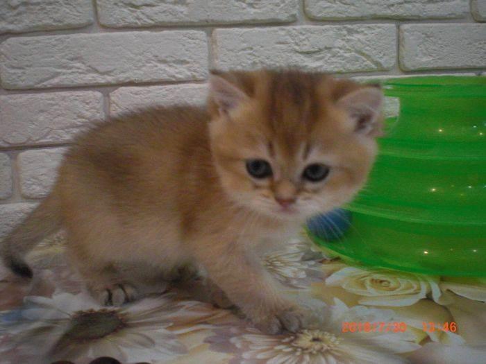 Британская шиншилла – любимая кошка принцессы виктории