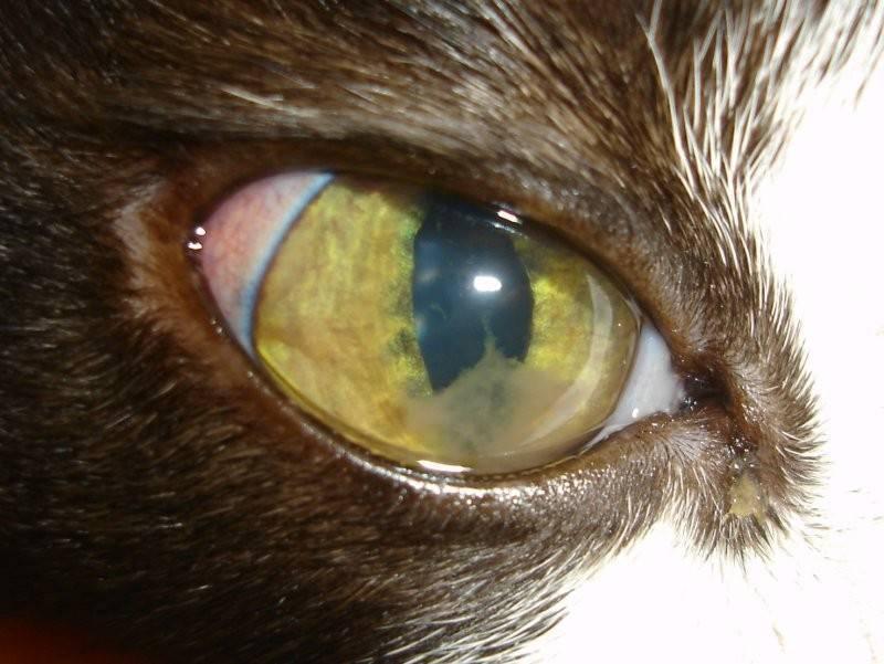 Белая пленка на глазах у кошки: причины образования, породная предрасположенность, симптомы, лечение