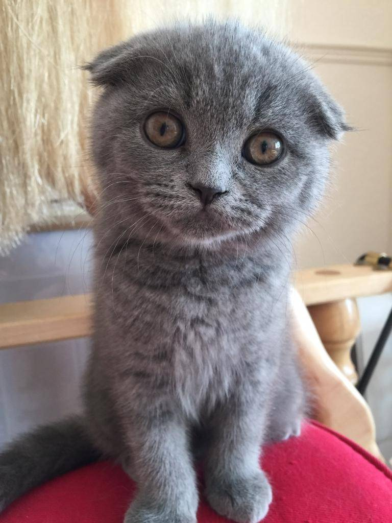 Клички для котов вислоухих шотландцев: как назвать девочку и мальчика