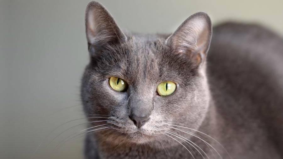 Порода кошек корат: описание с фото, особенности ухода и содержания
