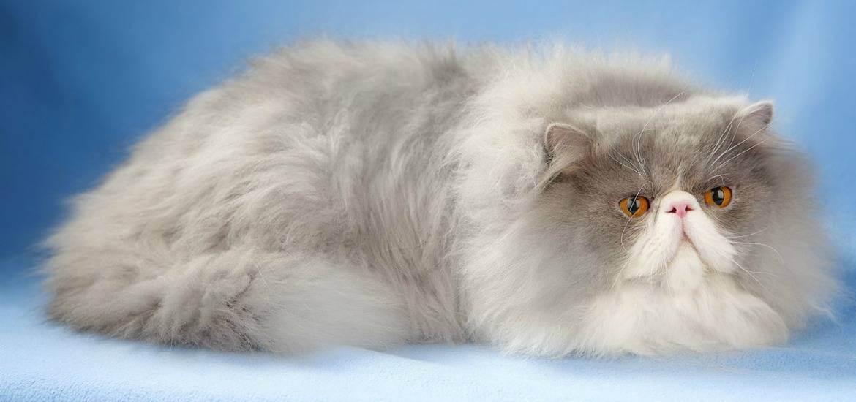 Почему кошки любят спать рядом с человеком - питомник британских кошек arletta british