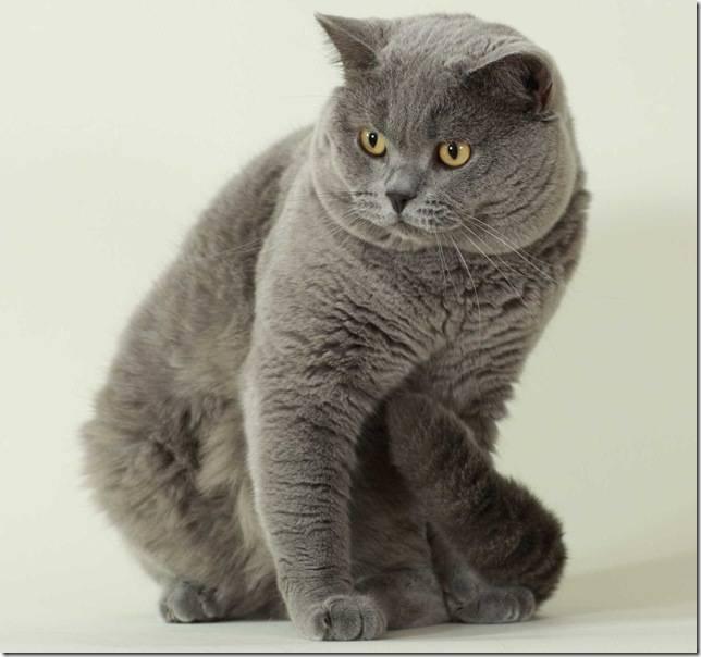 Британская порода кошек: разновидности, стандарт, характер, фото, особенности породы от а до я