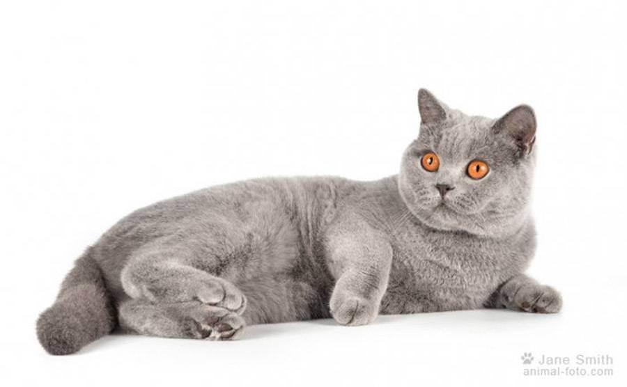 Болезни британских котов вырос живот
