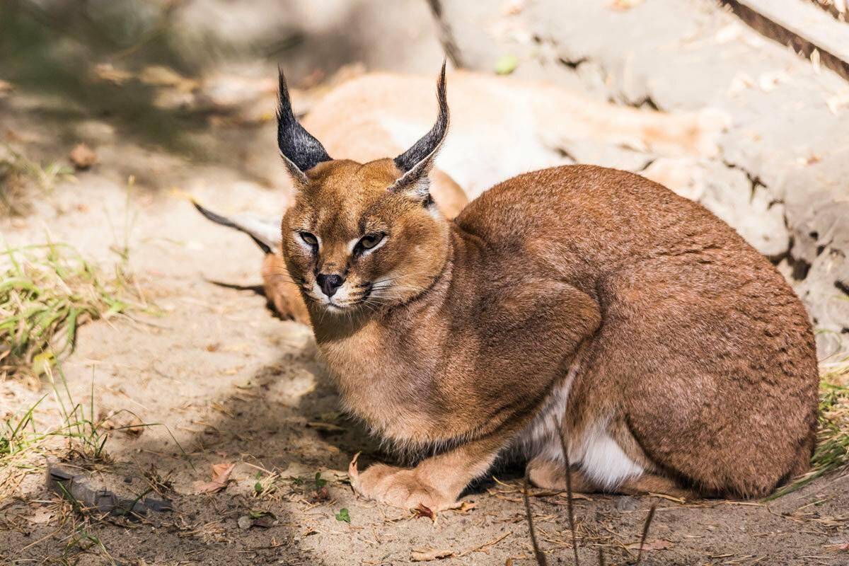 Кошки с кисточками на ушах: фото и названия домашних и диких кошачьих пород