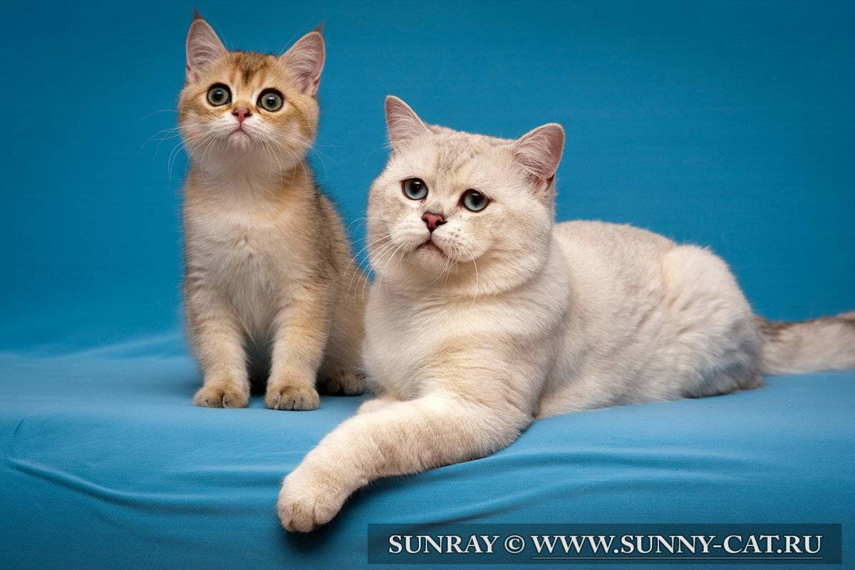 Популярные клички для британских котов мальчиков