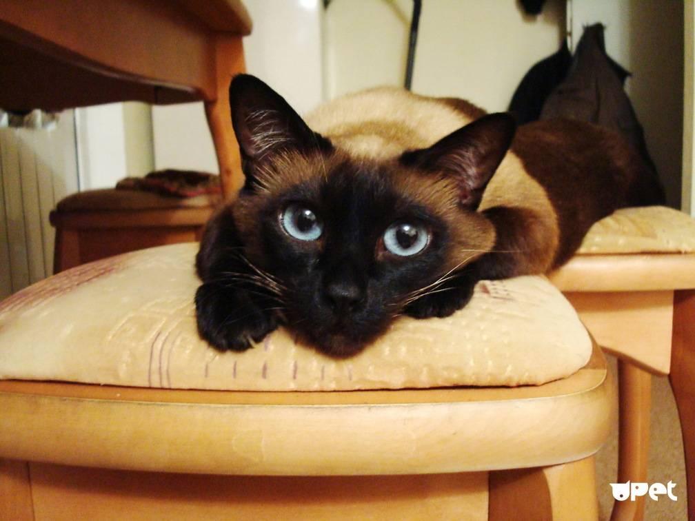 Сколько лет живут сиамские кастрированные коты
