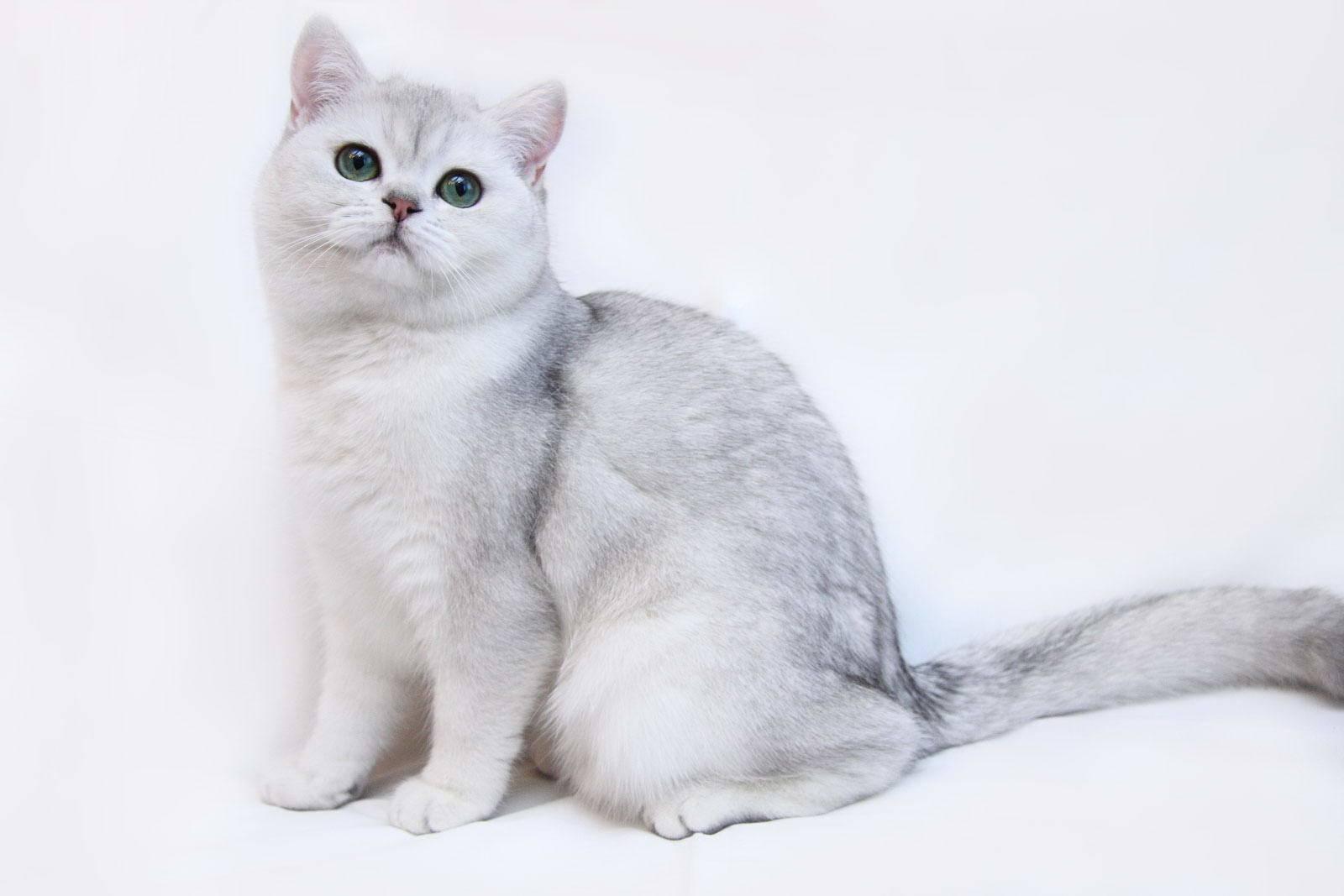 Окрасы британских котят