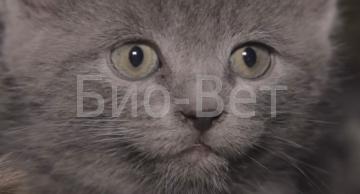 Ушной клещ у кошек: симптомы, чем лечить в домашних условиях, фото
