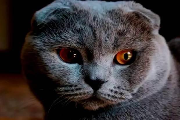 Британская кошка: особенности породы