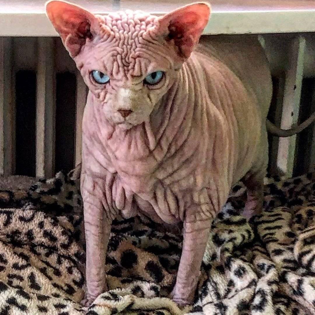 15 страшных пород кошек [фото и названия] - муркотэ