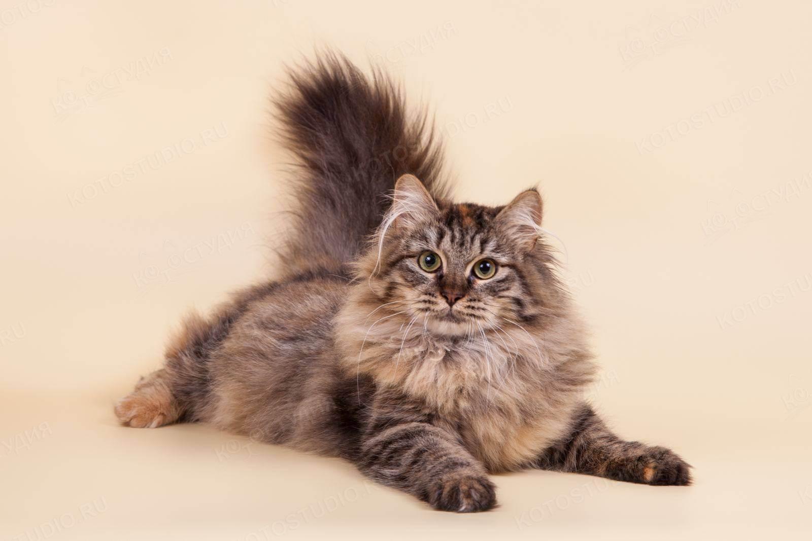 Сибирская кошка: описание породы, стандарты, характер
