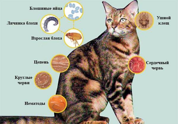 Ленточные глисты у кошки заразны ли они для человека - все про паразитов