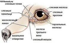 Слезится глаз у кошки забит проток. дакриоцистит у кошек и собак — воспаление слёзного мешка
