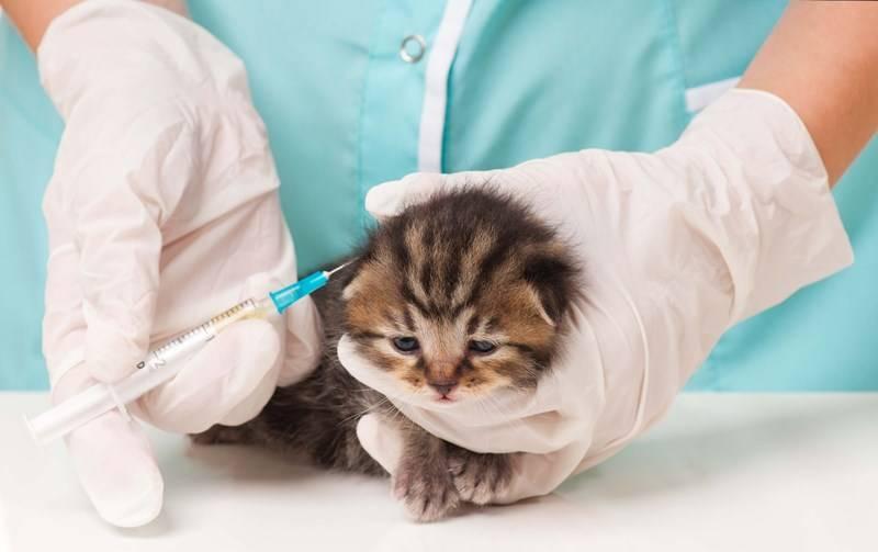 Прививка кошке от бешенства: когда делать, сколько действует, вакцины
