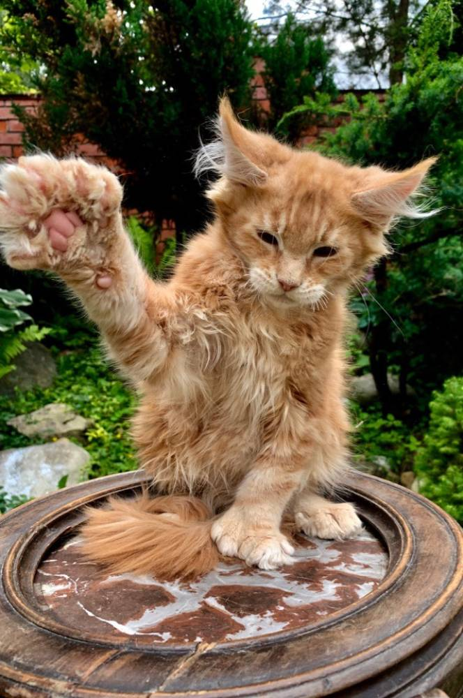 Полидактильные мейн-куны – внешний вид и особенности котов с аномалией пальцев